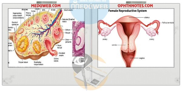 OVARY Embryology Anatomy Structure Functions attachment.php?attachmentid=3327&d=1509112646