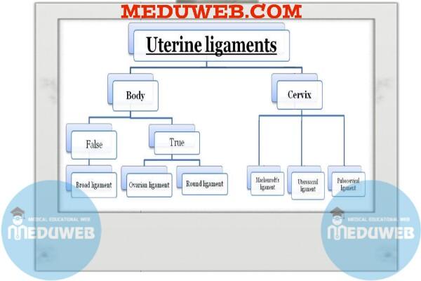 Uterine Ligaments