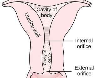 Uterus (Embryolog-Anatomy-Histology)