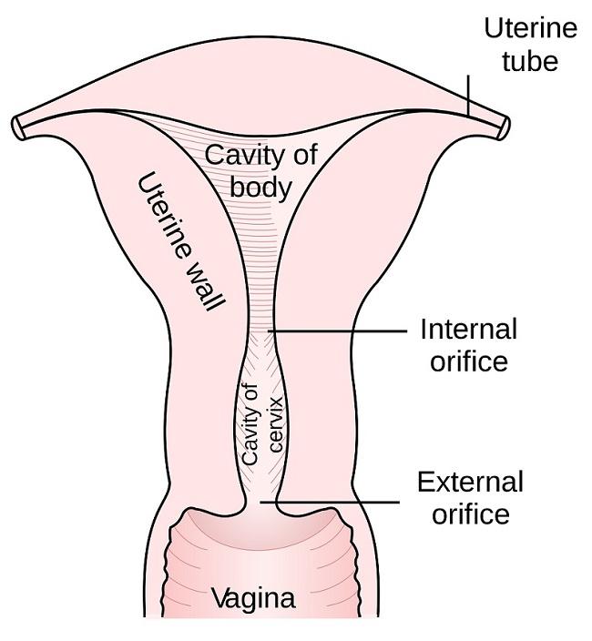 Uterus (Embryolog-Anatomy-Histology)
