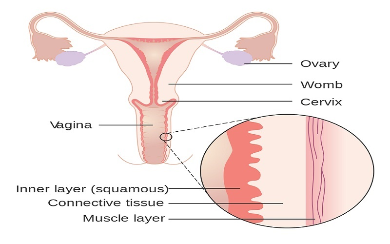 Vagina embryology anatomy histology meduweb diagrams showing the layers of the vaginal wall ccuart Image collections