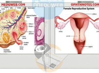 THE OVARY ( Embryology - Anatomy - Structure - Functions )