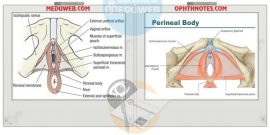 Perineum and Perineal body