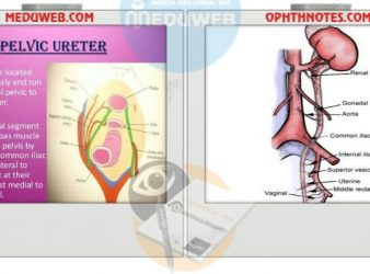 Anatomy Of pelvic ureter