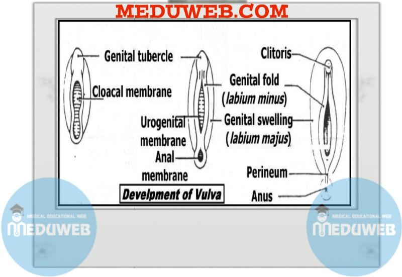 Development of vulva
