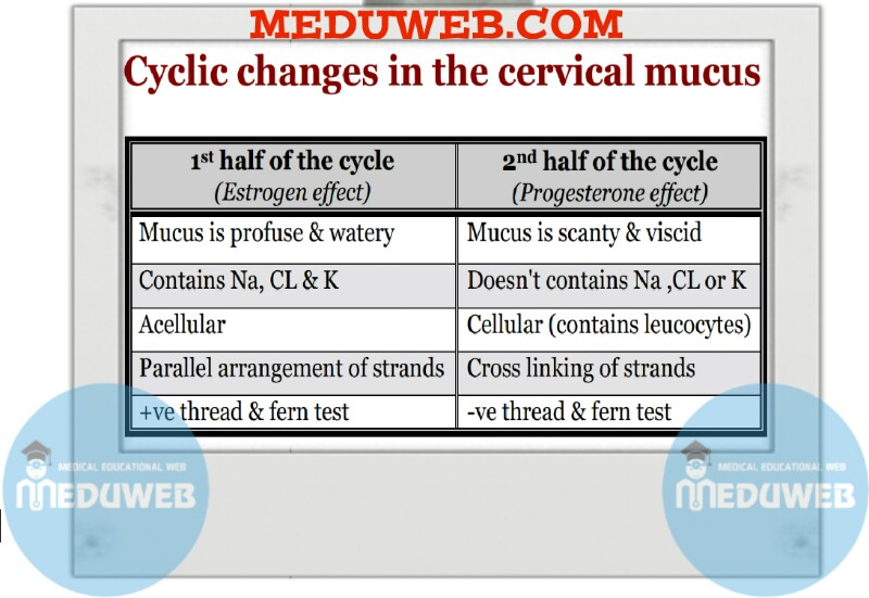 Cyclic changes in the cervical mucus